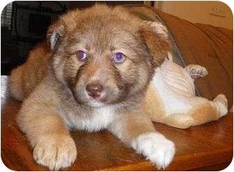 Border Collie/Australian Shepherd Mix Puppy for adoption in Spring Valley, New York - Sammie