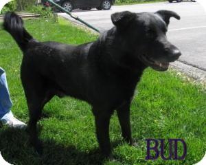 Labrador Retriever/German Shepherd Dog Mix Dog for adoption in Frankfort, Indiana - Bud