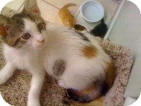 Calico Kitten for adoption in Tampa, Florida - Melody