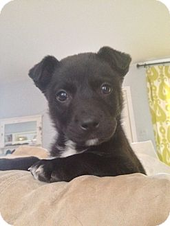 Labrador Retriever/Australian Shepherd Mix Puppy for adoption in Alpharetta, Georgia - Hannah