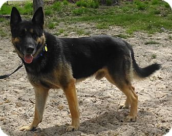 German Shepherd Dog Dog for adoption in SAN ANTONIO, Texas - ASH