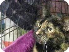 Domestic Shorthair Cat for adoption in Trevose, Pennsylvania - Bayer