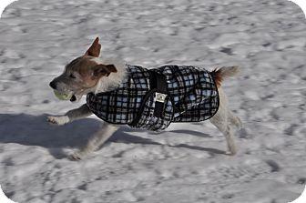 Jack Russell Terrier Dog for adoption in Hinsdale, Massachusetts - Rocky