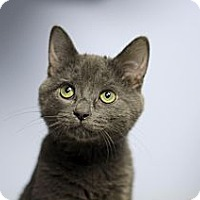 Adopt A Pet :: Guy Grey - Chicago, IL