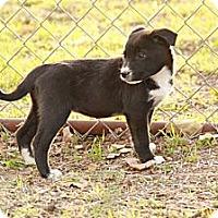 Adopt A Pet :: Paisley - Ranger, TX