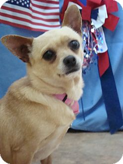 Chihuahua Mix Dog for adoption in Youngwood, Pennsylvania - Shelby