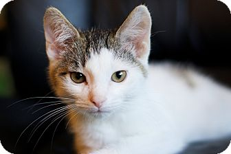 Domestic Shorthair Kitten for adoption in Columbus, Ohio - Pikachu