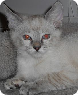 Domestic Shorthair Kitten for adoption in North Highlands, California - Sika