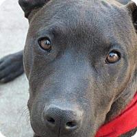 Adopt A Pet :: Coco Puff - Torrance, CA