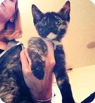 Domestic Shorthair Kitten for adoption in Chicago, Illinois - Zuma
