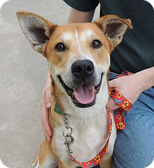Shepherd (Unknown Type) Mix Dog for adoption in Humble, Texas - Coach