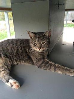 Domestic Shorthair Cat for adoption in Thibodaux, Louisiana - Savannah FE1-9164