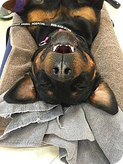 Rottweiler Puppy for adoption in Gilbert, Arizona - Marleigh