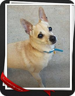 Chihuahua Mix Dog for adoption in Apache Junction, Arizona - Pedro