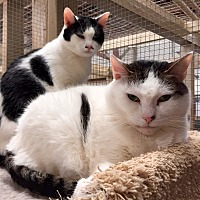 Domestic Shorthair Cat for adoption in Wilmington, Delaware - Noodle