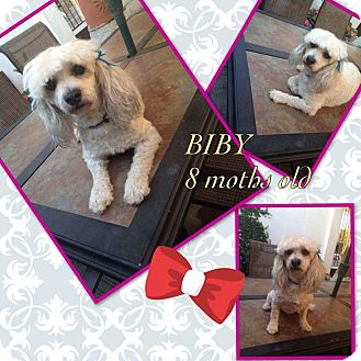 Poodle (Miniature) Mix Puppy for adoption in LAKEWOOD, California - Biby