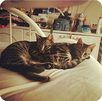 American Shorthair Kitten for adoption in New York, New York - Sevy