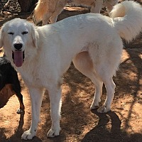 Great Pyrenees Dog for adoption in Wichita Falls, Texas - Farrah Fawcett