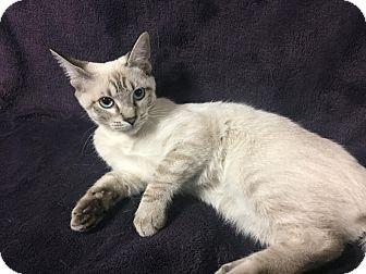 Bengal Kitten for adoption in Dallas, Texas - SnowBelle