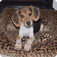 Adopt A Pet :: Monti - Miami, FL