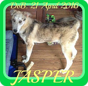 Catahoula Leopard Dog/German Shepherd Dog Mix Dog for adoption in Allentown, Pennsylvania - JASPER