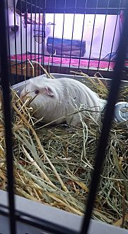 Guinea Pig for adoption in North Pole, Alaska - Charlotte