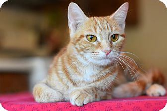 Domestic Shorthair Cat for adoption in Chicago, Illinois - Minerva