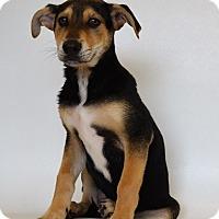 Husky Mix Puppy for adoption in New Iberia, Louisiana - HOAGGIE