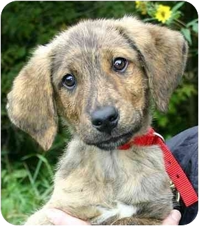 Hound (Unknown Type)/Sheltie, Shetland Sheepdog Mix Puppy for adoption in Ladysmith, Wisconsin - Milo