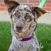 Adopt A Pet :: Kayla - Cheyenne, WY