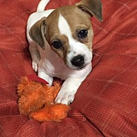 Jack Russell Terrier Mix Puppy for adoption in Franklin, Georgia - Charlie Brown