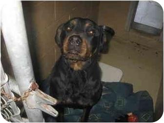 Rottweiler Mix Dog for adoption in Montville, New Jersey - RACHEL