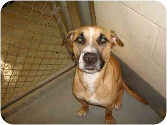 Boxer/Retriever (Unknown Type) Mix Dog for adoption in Greenville, North Carolina - Diesel