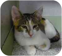 Calico Cat for adoption in Tampa, Florida - Rosalie
