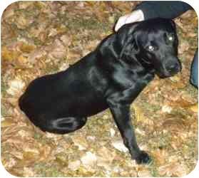Labrador Retriever Mix Dog for adoption in Troy, Michigan - Abbey