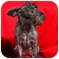 Photo 1 - Miniature Schnauzer Dog for adoption in Anna, Illinois - LOLA