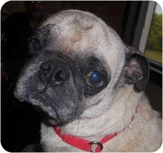 Pug Dog for adoption in Sidney, Ohio - Puggers