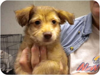 Terrier (Unknown Type, Small) Mix Puppy for adoption in New Roads, Louisiana - Dusty