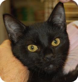 Domestic Shorthair Kitten for adoption in Brooklyn, New York - Turk