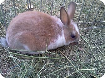 Mini Rex Mix for adoption in Lancaster, California - Speckles