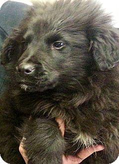 Newfoundland/Labrador Retriever Mix Puppy for adoption in Oswego, Illinois - Humphrey