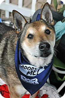 Shiba Inu/Shepherd (Unknown Type) Mix Dog for adoption in Los Angeles, California - Alfred
