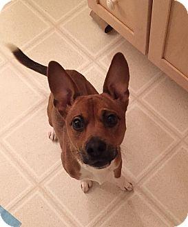 Dachshund/Corgi Mix Dog for adoption in Sharon Center, Ohio - Sheldon