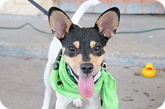 Rat Terrier Mix Dog for adoption in Houston, Texas - Ollie