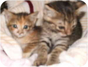 Domestic Mediumhair Kitten for adoption in Aledo, Illinois - Kittens