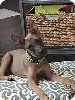 German Shepherd Dog Mix Puppy for adoption in Littleton, Colorado - IVEY
