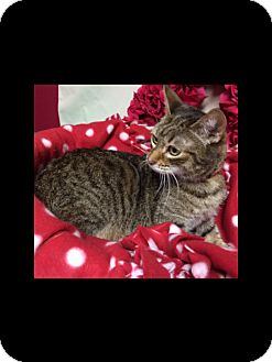 American Shorthair Cat for adoption in Pahrump, Nevada - Lady Little