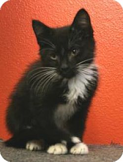 Domestic Shorthair Kitten for adoption in Knoxville, Iowa - Zepplin