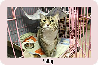 Domestic Shorthair Cat for adoption in New Richmond,, Wisconsin - Kitty
