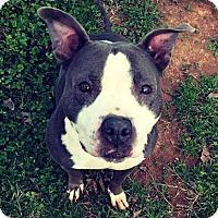 Adopt A Pet :: Annabelle - Charlotte, NC